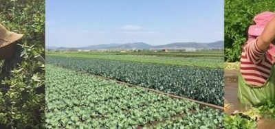 Tobacco Crop Replacement: A Win-Win for China